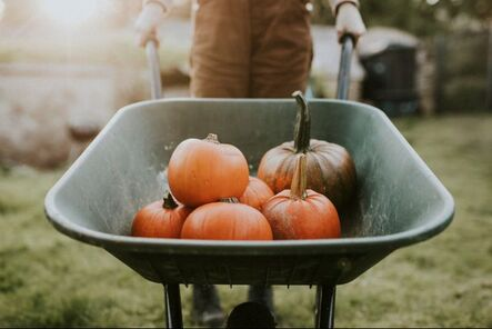 wheelbarrow of pumpkins